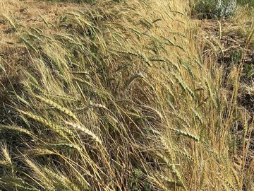 pay online only: Turkey Red Wheat