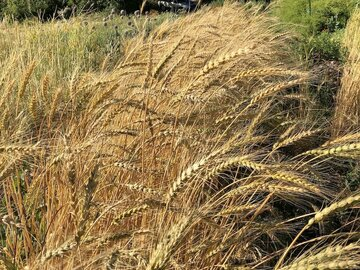 pay online only: Banatka Wheat