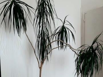 "Vente: Palmier ""Dracanea marginata"""