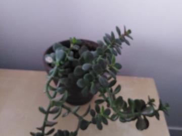 Vente: Belle plante grasse