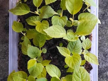 Vente: Barquette petits plants de kiwi