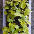 Sales: Barquette petits plants de kiwi