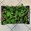 Sales: Plants de potimarron