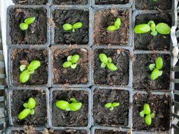 Vente: Petits plants de basilics