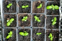 Sales: Petits plants de basilics