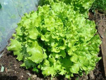 Vente avec paiement en direct: Salade Batavia