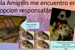 Anuncio: Pequeña Tigre en adopción responsable