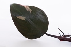 Selling: Philodendron Pink Princess -EU ONLY