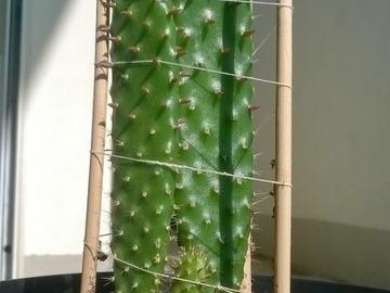 Vente: Figuier De Barbarie (Opuntia Ficus-Indica)