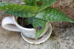 Echange: Aloe maculata
