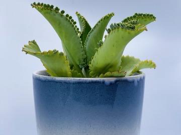 Vente: Mother succulente plante