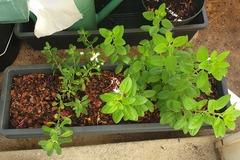 Vente: 1 Jardinière avec 2 sauges bleue et rouge 60cm/15cmH