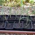 Vente avec paiement en direct: Plants de Miscanthus Géant