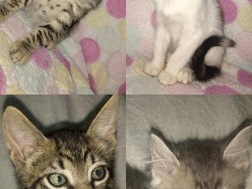 Anuncio: Gatitos en adopción responsable