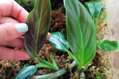 Vente: Philodendron Subhastatum