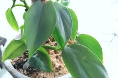 Vente: Philodendron Hastatum