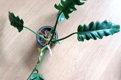 Vente: Philodendron 'Narrow'