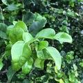 For sale: Makrut lime leaves / Thai lime