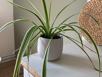 Selling: Fully grown Spider plant + Pot
