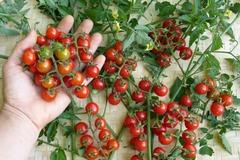 pay online or by mail: Matt's Wild Cherry tomato