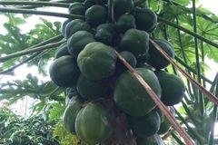 For sale: Papaya