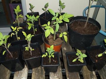 Vente: Plants de tomates cerises bio