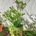 Vente: Laurier rose