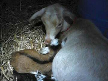 Selling Without Online Payment: Registered Nigerian Dwarf Dairy Goats