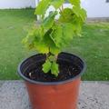 Vente: Jeunes plants de Muscat d'Italie