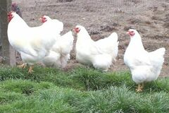Selling Without Online Payment: Farm raised whole chicken - sold by weight