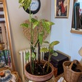Vente: Begonia maculata raddi