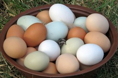 For sale: Chicken Eggs- BLUE