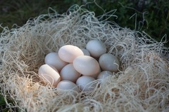 For sale: Duck Eggs