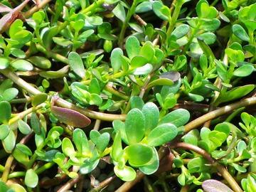 For sale: Bacopa Monnieri Brahmi Water Hyssop LIVE PLANT Ayurvedic herb