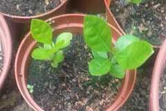 Echange: Troc - Araçá jaune (Psidium cattleianum)