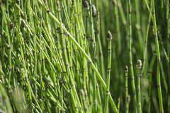 For sale: Horsetail