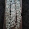 For sale: Mountain Big Sage big sage Artemisia tridentata