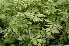 For sale: Aquatic Water Celery Edible Landscape Plant Oenanthe javanica