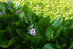 Vente: Plants bergenia feuilles charnues  (une vingtaine )