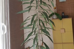 Echange: Grande plante d'intérieur