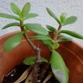 Don: Plants de Crassula
