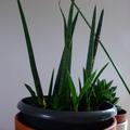 Don: Petites boutures de feuilles de Sansevière à bâtons