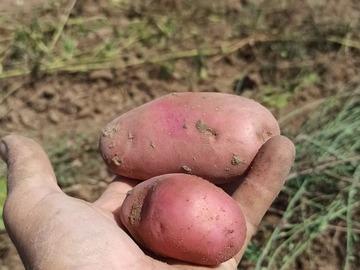 Vente avec paiement en ligne: Pomme de terre Rubis filet de 3 kg agriculture biologique