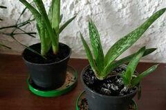 Vente: Jeunes pousses aloé - plante grasse