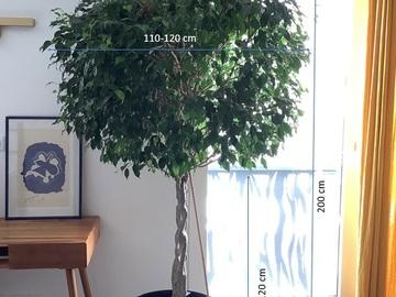 Vente: Grand ficus avec le tronc tressé