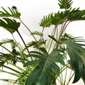 Vente: Philodendron Bipinnatifidum