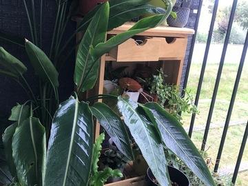 Vente: Strelitzia Reginae, Oiseau du Paradis