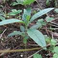 Don: Donne buddleia semis de l'année