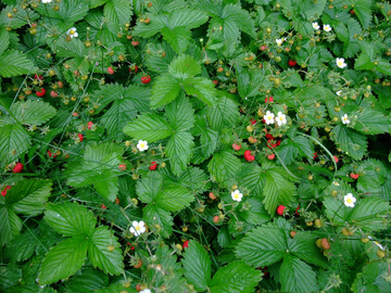 Giving away: Donne fraisiers des bois