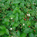 Don: Donne fraisiers des bois